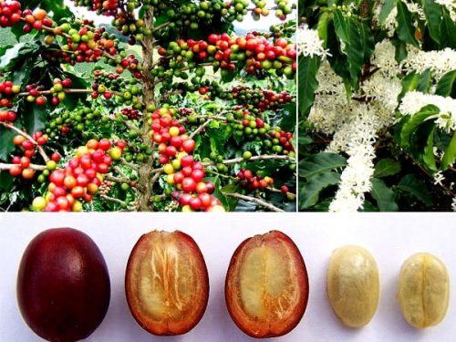 натуральна кава Saba