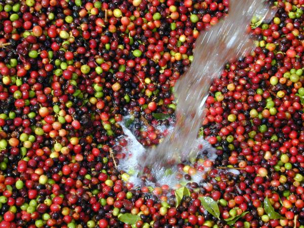 третій варіант обробки кави